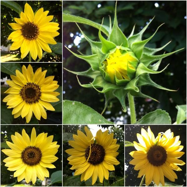 A sunflower over a week