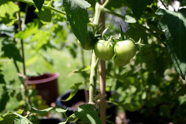 Young green tomatoes