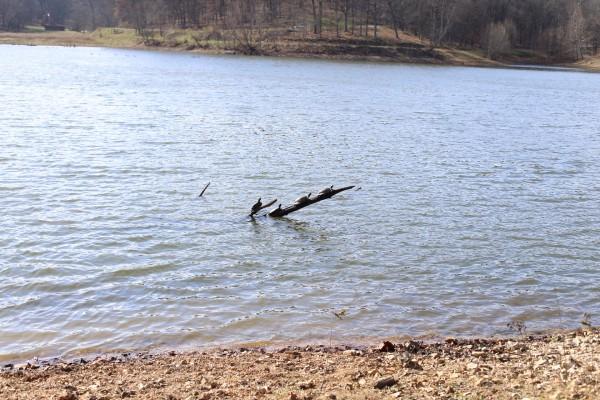 Turtles at Lone Elk Park, MO